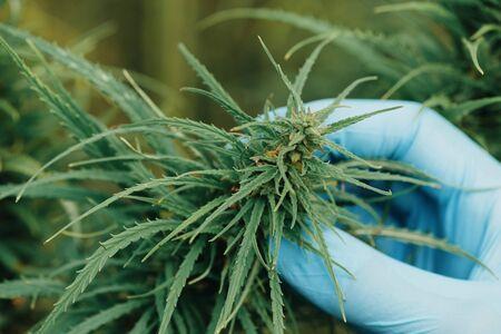 Cannabis plant inspection on farm
