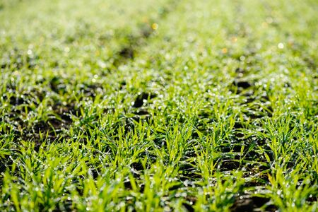 Young fresh wheat sprouts in morning dew on field macro closeup