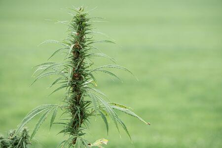 Cannabis marijuana hemp plat flowering with seeds on the field
