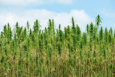 Industrial hemp field plantation
