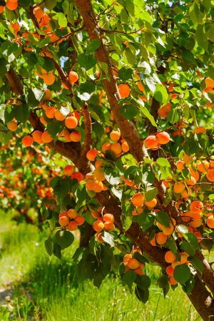 Apricot tree with fresh ripe apricots in orchard