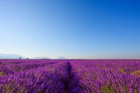 Lavender field in bloom at Provence region France