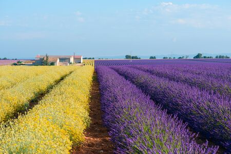 Lavender and Helichrysum italicum blooming field at Provence France