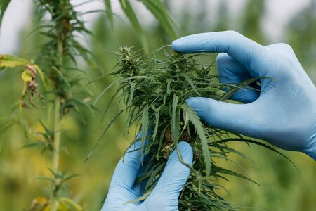 Farmer in gloves inspecting hemp plant grown for oil on commercial agriculural field Zdjęcie Seryjne