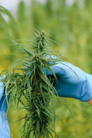 Farmer in gloves inspecting hemp plant on commercial agriculural field Zdjęcie Seryjne