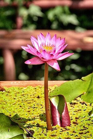 to flit: lotus on water Stock Photo