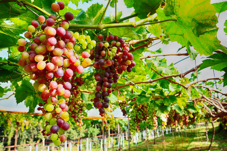 grape in farm