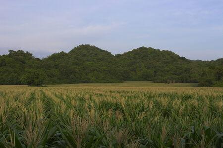 field of flower: campo di grano pianta fiore natura all'aperto