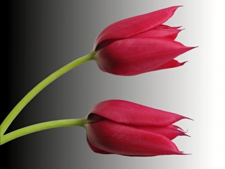 two red tulips isolated on gradient background photo