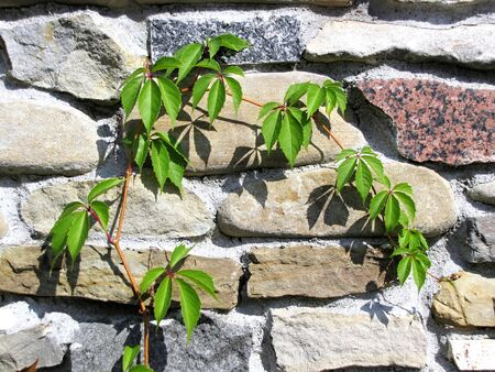 entwine: close up creeper plant on the stone wall Stock Photo