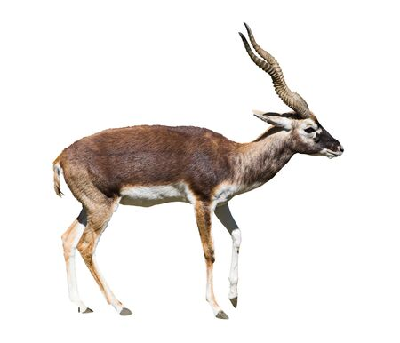 Indian Black Buck Antelope (Antelope cervicapra L.) isolated over white background. Also known as Kala Hiran. Clipping path included. Banco de Imagens
