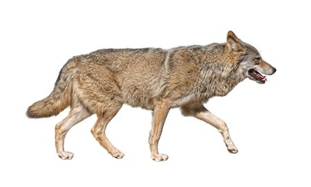 Gray wolf (Canis lupus) run in hunting pursuit side view Stock Photo