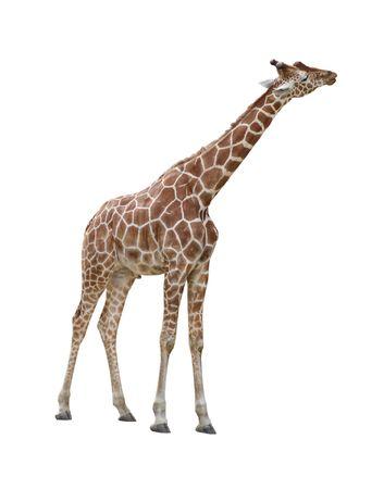 Giraffe kissing pose isolated on white background Stock Photo