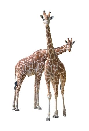 Pair of young giraffe isolated on white background photo