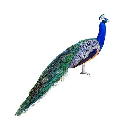 Peacock full length profile isolated on white background Stock Photo - 4752900