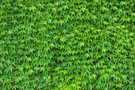 Dense ivy on wall fresh green leaves texture background
