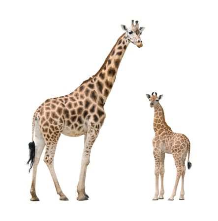 Giraffe mother and baby isolated on white background photo