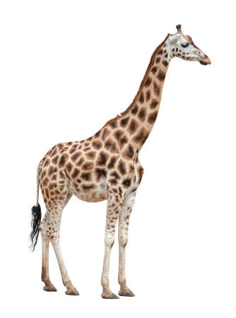 jirafa fondo blanco: Hombre jirafa aisladas sobre fondo blanco Foto de archivo