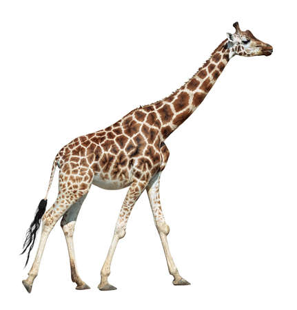 Giraffe female on move isolated on white background