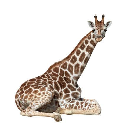 jirafa fondo blanco: Jirafa j�venes se encuentra en la Tierra buscando aislado sobre fondo blanco Foto de archivo