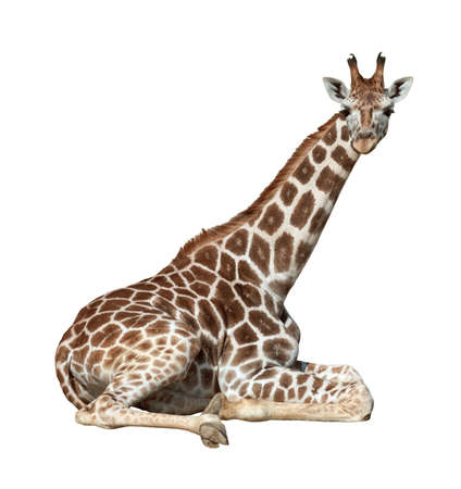 Young giraffe lie on ground looking isolated on white background photo