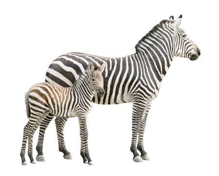 Zebra and ten days old foal isolated on white background