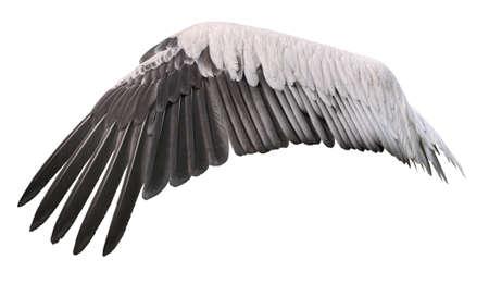 Bird wing spread belongs to white great pelican