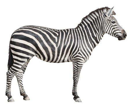 Plain Burchells Zebra female standing side view on white background