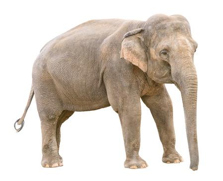 Asian elephant young female  isolated on white background Stock Photo