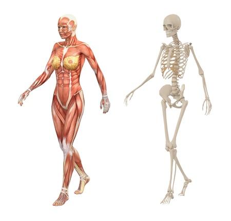 esqueleto humano: Mujer m�sculos y el esqueleto