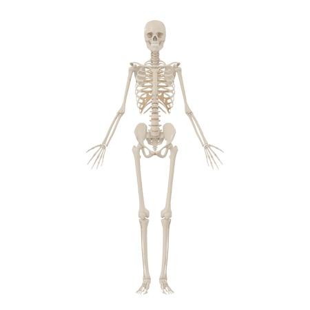 huesos humanos: Esqueleto humano Foto de archivo