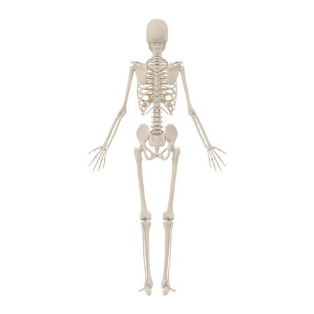 人間の骨格は戻る 写真素材