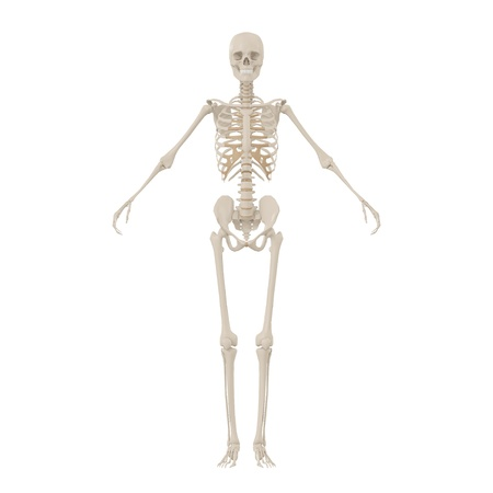 Human Skeleton front Stock Photo