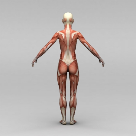 Young female human anatomy and muscles photo