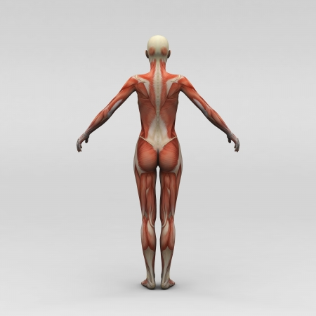 Female human anatomy and muscles photo