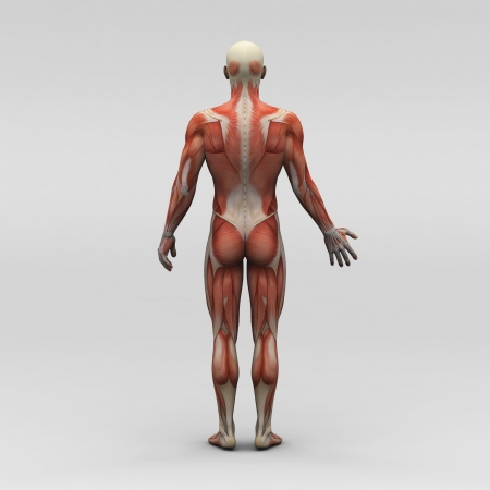 Male human anatomy and muscles