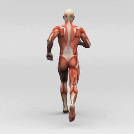 男性の人体解剖学、筋肉