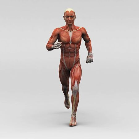 anatomy muscles: Male human anatomy and muscles