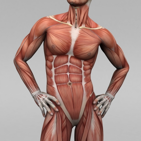 muscle anatomy: Athletic male human anatomy and muscles
