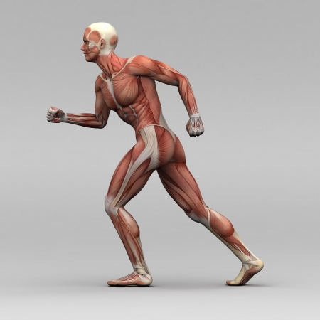 Athletic Male Human Anatomy And Muscles Stock Photo Picture And