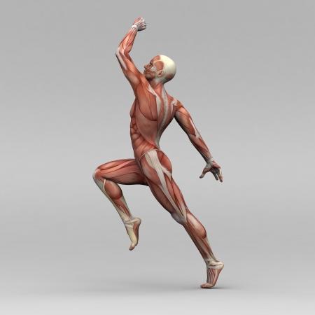 anatomia humana: Atl�tica anatom�a masculina humana y m�sculos