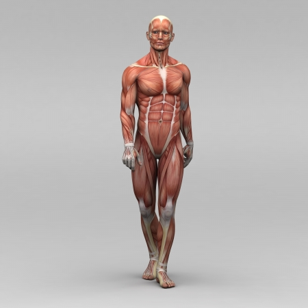 Athletic male human anatomy and muscles