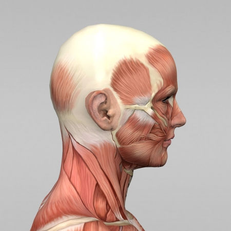 運動男性の人間の解剖学、筋肉