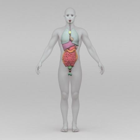 human organs: Athletic male human anatomy and organs