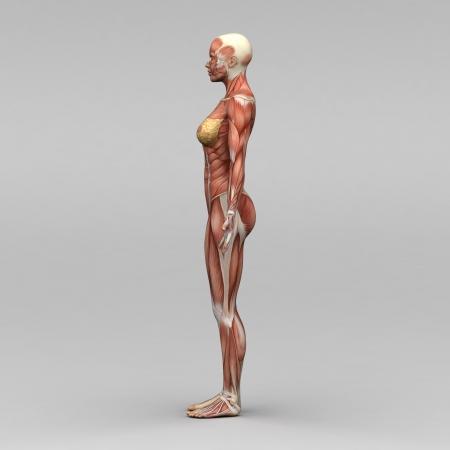 女性の人体解剖学、筋肉