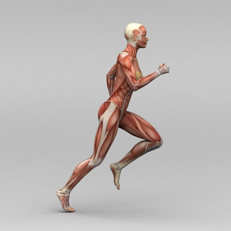 anatomy muscles: Female human anatomy and muscles Stock Photo