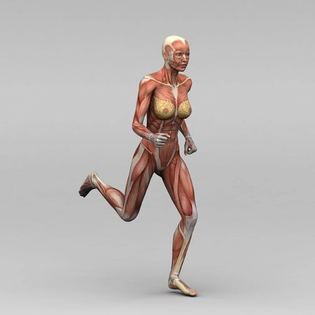 female muscle: Female human anatomy and muscles Stock Photo