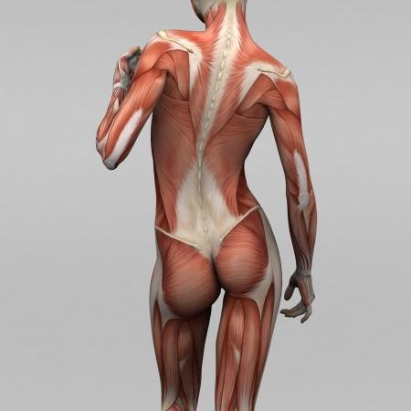 anatomie mens: Vrouwelijke menselijke anatomie en spieren