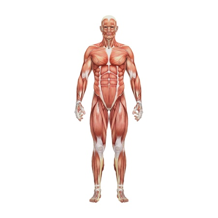 naked male body: Male anatomy and muscles