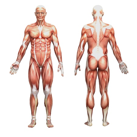 nude male: Male anatomy and muscles